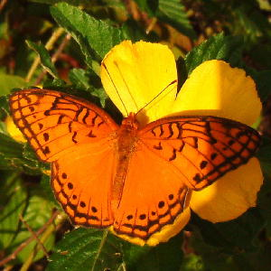 Mexican Fritillary on Nectar Plant
